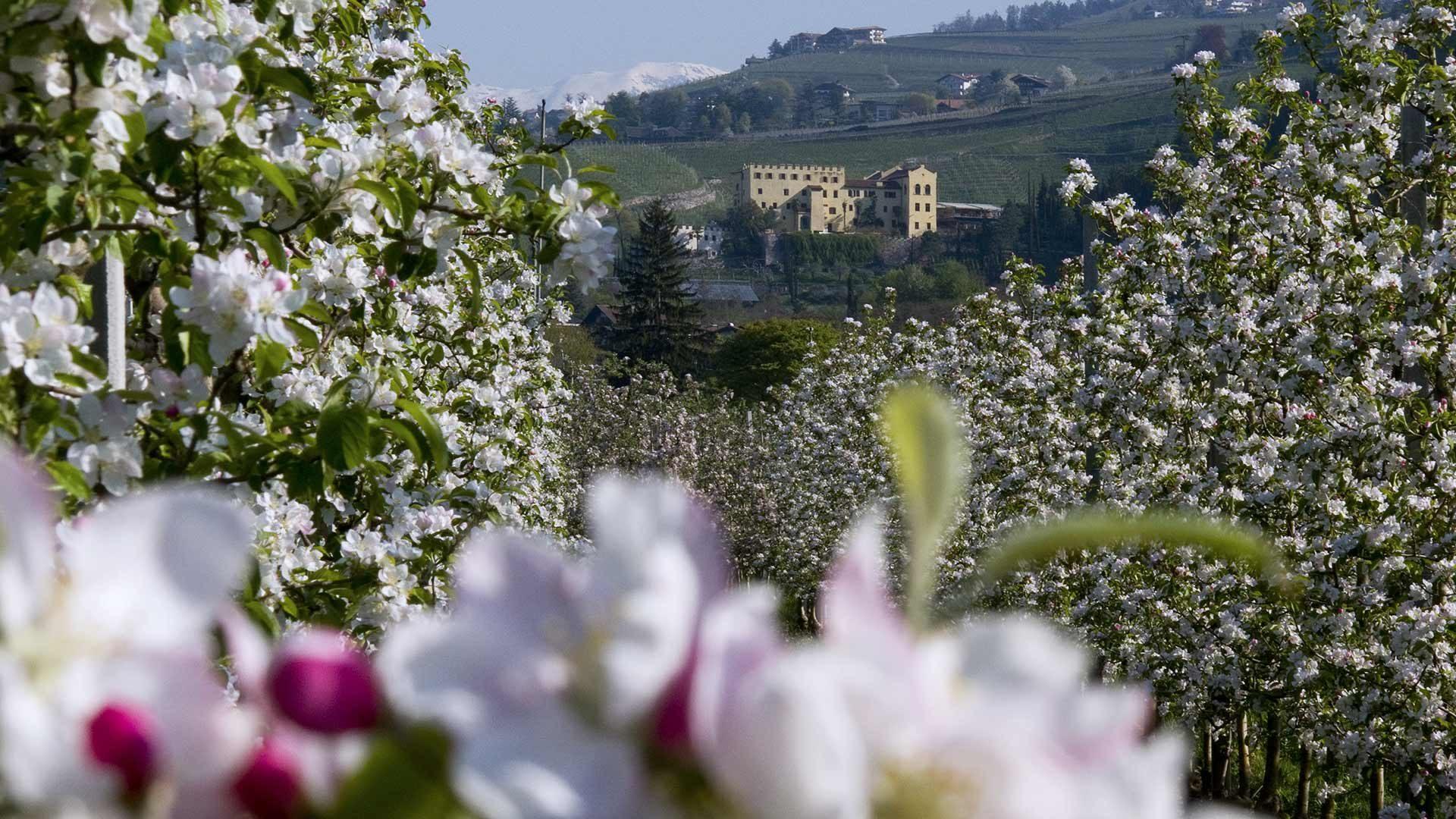 Apfelblütenwanderungen