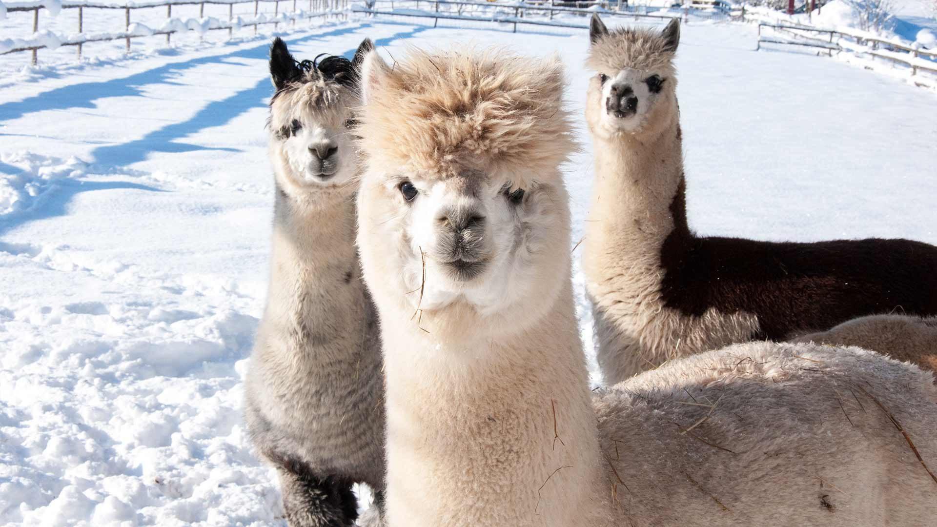Winterwanderungen mit Lamas