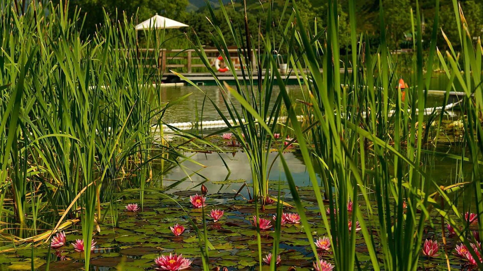 Naturbad Gargazon - Seerosen