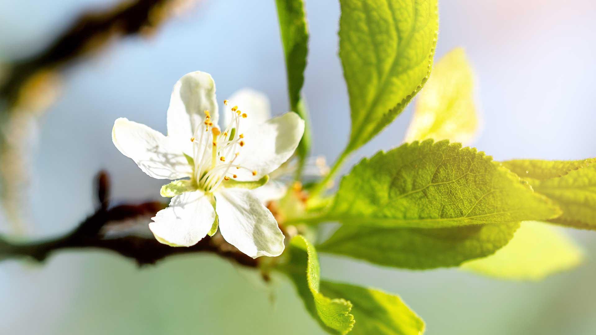 Apfelblüte in Gargazon