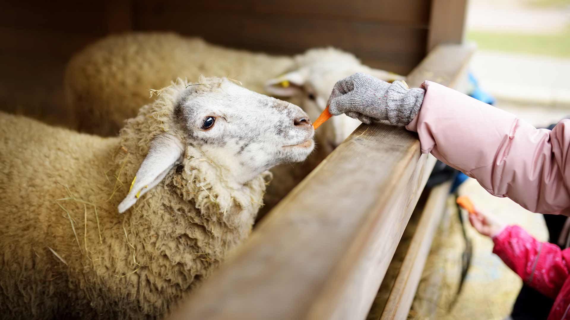Tierwelt Rainguthof - Schafe