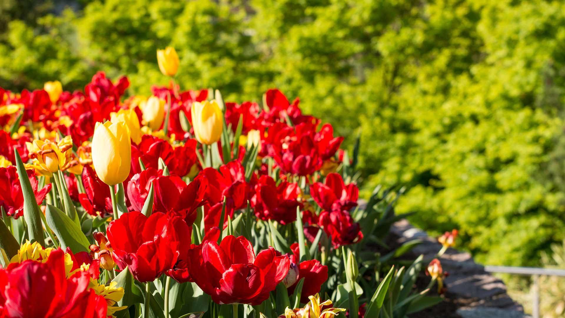 Gärten von Schloss Trauttmansdorff - Tulpen