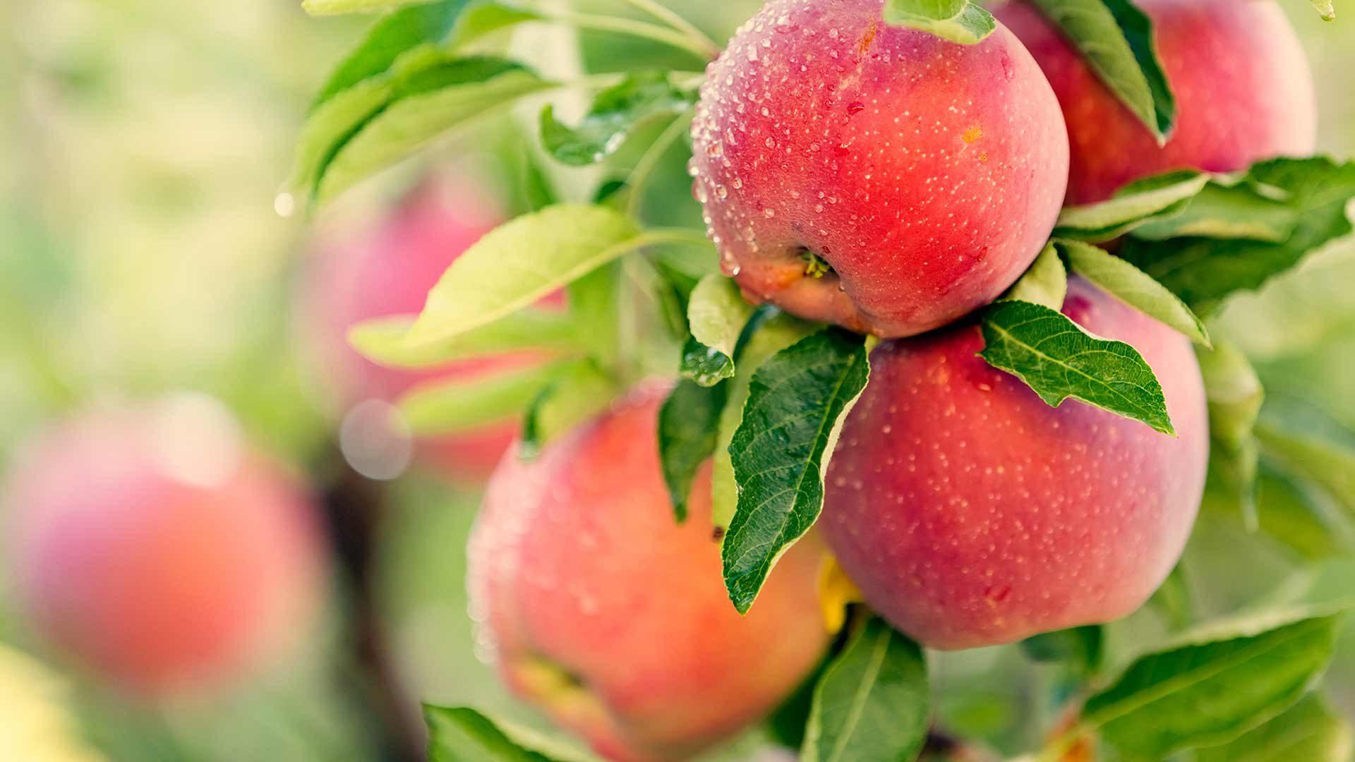Apfelführungen & Apfelverkostungen