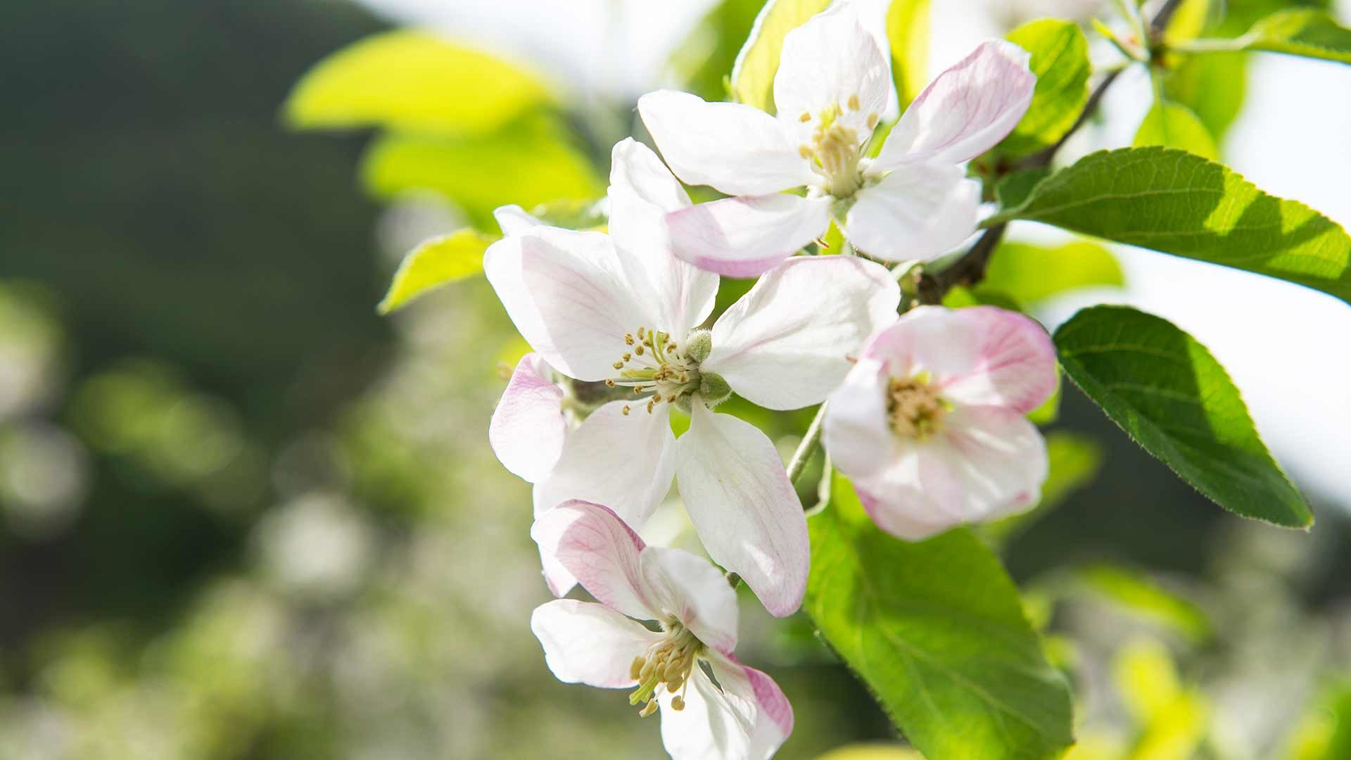 Apfelblüte in Lana, Meranerland
