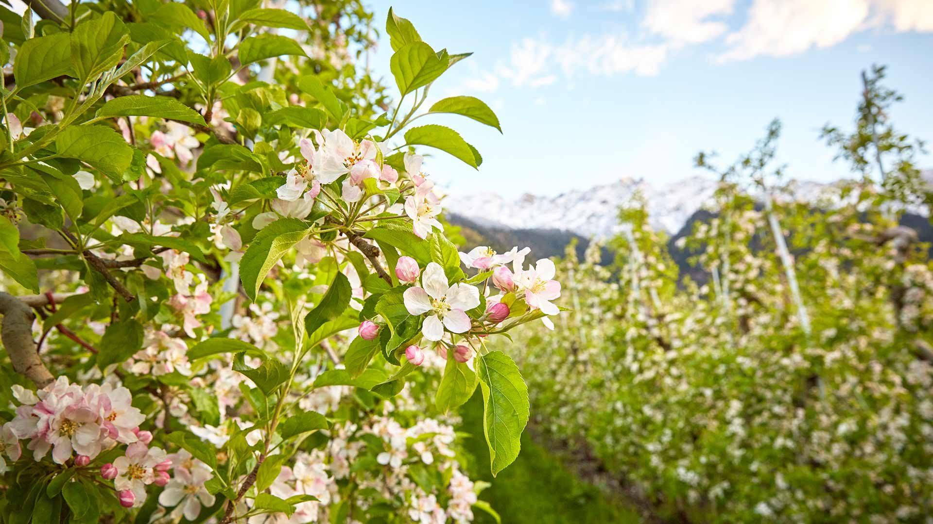 Apfelblüte in Lana
