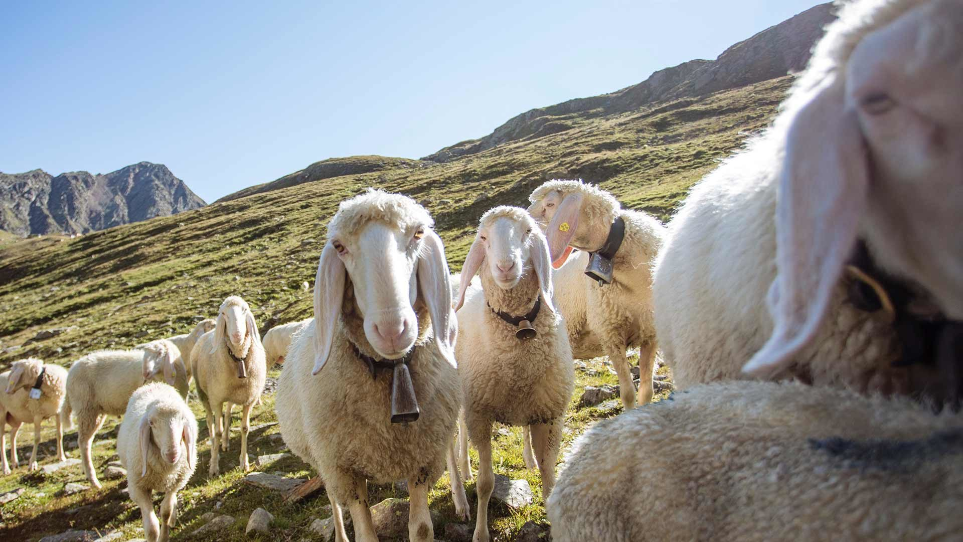 Rückkehr der Schafe - Schnalstal