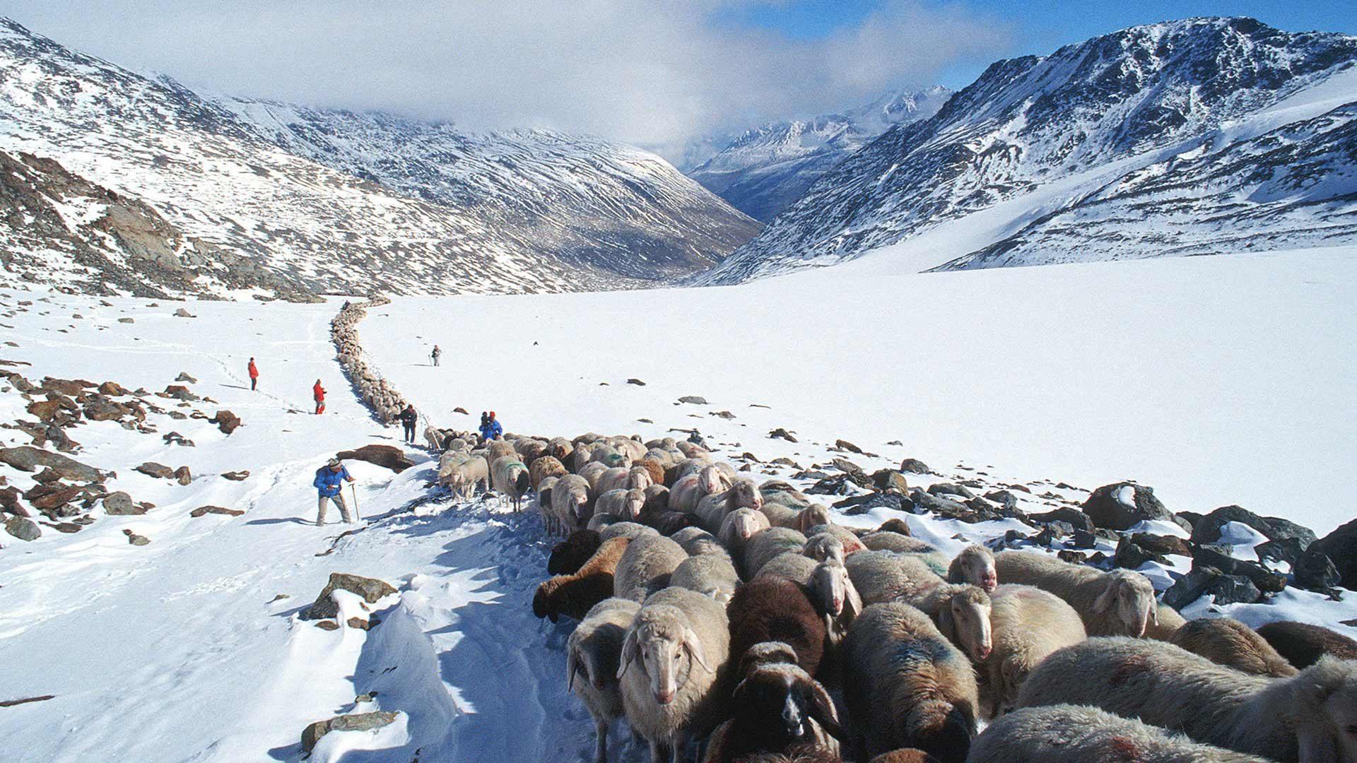 Schafübertrieb im Schnalstal